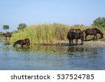 wild horses in the danube delta | Shutterstock . vector #537524785