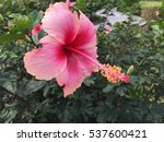 Pink Hibiscus Flower In Garden