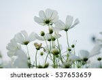 Beautiful White Cosmos Flower...