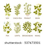 legumes plants with leaves ... | Shutterstock .eps vector #537673501