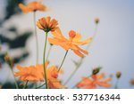 soft focus and blurred orange... | Shutterstock . vector #537716344