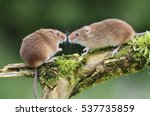 harvest mouse  micromys minutes ... | Shutterstock . vector #537735859