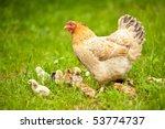 closeup of a mother chicken... | Shutterstock . vector #53774737