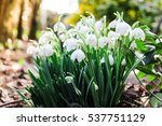 Group Of Snowdrop Flowers