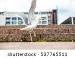 white flying sea gull on the... | Shutterstock . vector #537765511