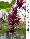 Small photo of Roselle,red Roselle flowers in the garden.