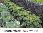 Rows Of Cabbage And Kale In An...