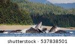 humpback whales bubble net... | Shutterstock . vector #537838501