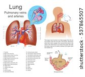 the lungs are the primary... | Shutterstock .eps vector #537865507