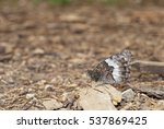 Small photo of Rock Grayling (Hipparchia alcyone) is perfectly camouflaged in its surroundings