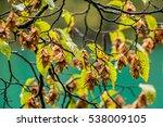 Hornbeam  Carpinus Betulus ...