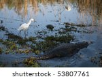 Snowy Egret  Alligator And...