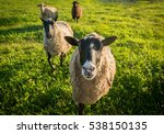 Several Sheep On A Green Grass...