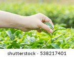 keep and caring the tea leaves | Shutterstock . vector #538217401