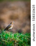 paddyfield pipit on paddy filed ... | Shutterstock . vector #538310635