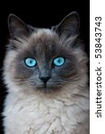 siamese cat portrait isolated... | Shutterstock . vector #53843743