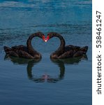 two black swans on water.... | Shutterstock . vector #538461247