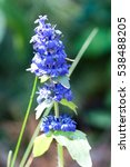 Small photo of Flowers of Geneva bugleweed (Ajuga genevensis), a plant used in traditional medicine.