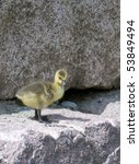 Contemplating / Gosling on a rock - stock photo