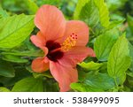 Red Hibiscus Flowers   Close U...