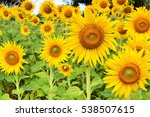 Close Up Of Sun Flower With...