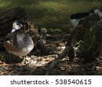 Small photo of American widgeon duck (Anas americana)