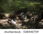 Small photo of American widgeon ducks (Anas americana)