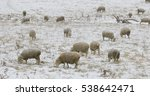 a flock of sheep feeding in... | Shutterstock . vector #538642471