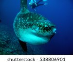 Mola Mola Sunfish With Diver...
