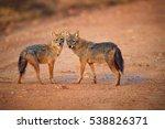 pair of indian jackals  canis... | Shutterstock . vector #538826371