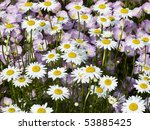 Shasta Daisies With Pink...