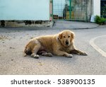 Dog Golden Retriever Mangy...