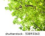 Branch Of Green  Platanus...