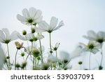 beautiful white cosmos flower... | Shutterstock . vector #539037091