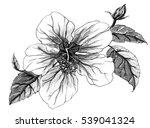 hibiscus exotic tropical flower ... | Shutterstock . vector #539041324