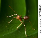 Tropical Ant