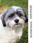 Small photo of Beautiful little black and white Jack Russell Terrier and Shiz Tsu mix dog with big brown eyes outdoors