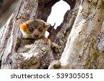 ankaran sportive lemur ... | Shutterstock . vector #539305051