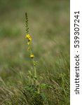 Small photo of Agrimonia procera, yellow agrimony wildflower macro