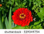 Close Up Of Red Zinnia Flower.