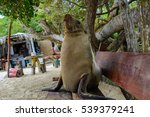 Galapagos Sea Lions On A Bench...