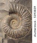 Ammonites  Saligram