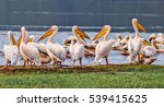 vacationers white pelicans in... | Shutterstock . vector #539415625