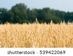 organic golden ripe ears of...   Shutterstock . vector #539422069
