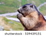 A Marmot In The Mountain. A...
