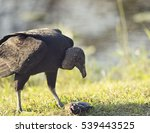 Small photo of American Black Vulture eating a fish in Florida Wetlands