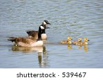 Canada Goose  Gander And Three...