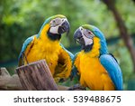 Stock photo blue gold macaw concept love 539488675