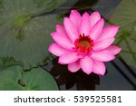 pink lotus or water lilly... | Shutterstock . vector #539525581