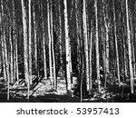 aspen tree trunks in black and...